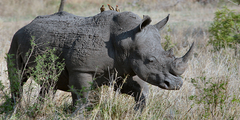 Accessing the Rhino Issue as an Independent Filmmaker